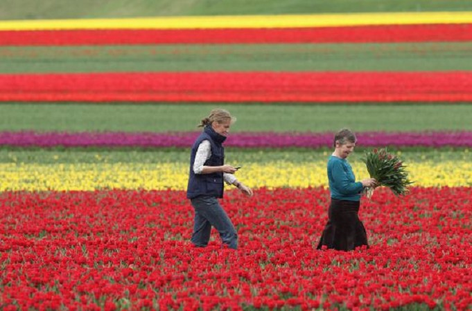 Dos mujeres recogen tulipanes en Alemania. Foto Getty Images
